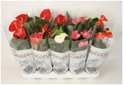 ANTHURIUM MIX 14Ø 55cm- paleta 8 szt