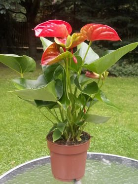 ANTHURIUM  RED 14Ø 45cm