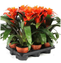 GUZMANIA FIERO ORANGE  12Ø 35cm - paleta 6 szt